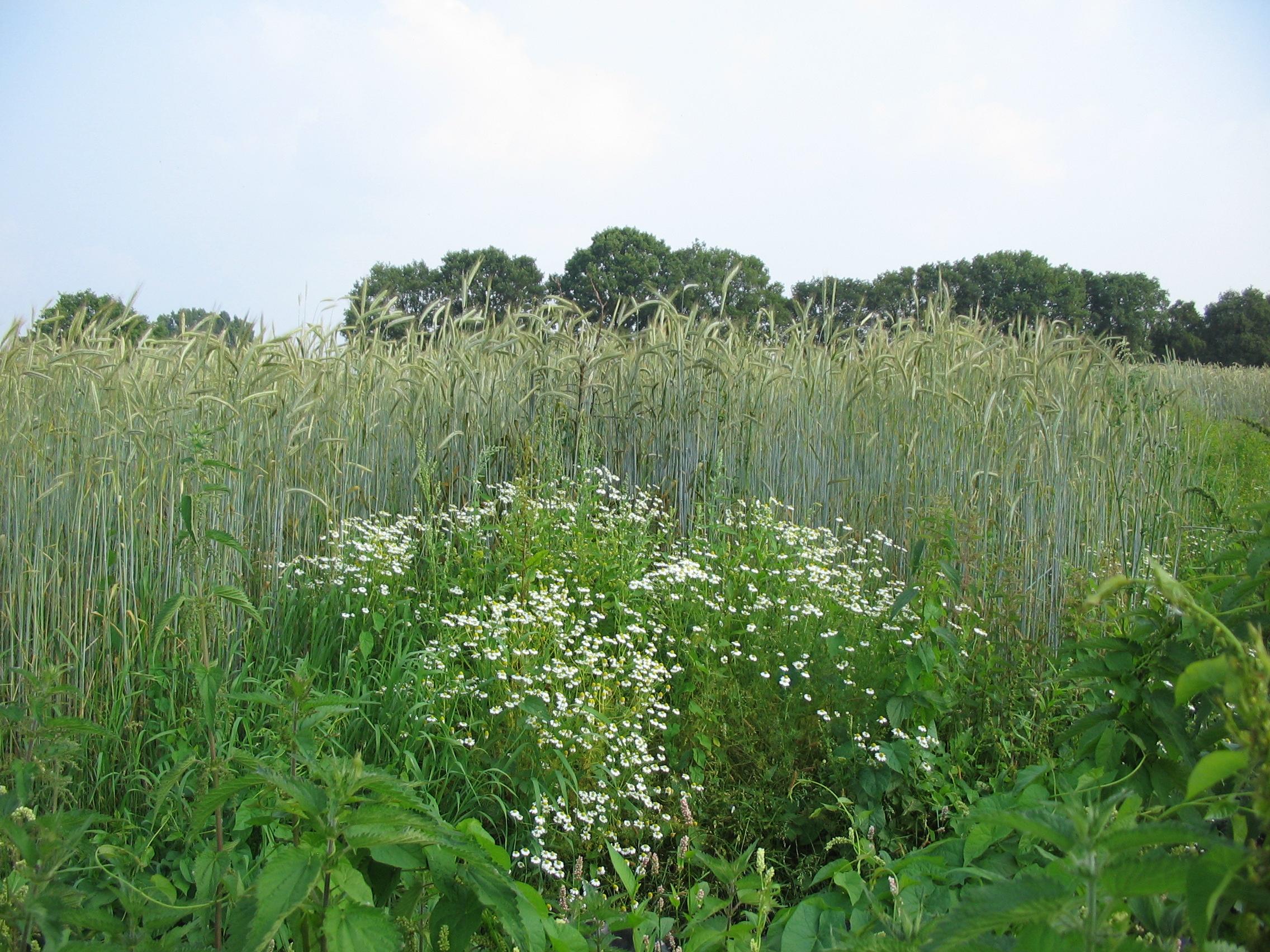 graanveld met kruiden
