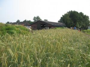 kuilvoer met graan